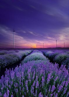 Ana Rosa, ponderation: S vůní levandule do . Lavender Blue, Lavender Fields, Lavender Flowers, Belle Image Nature, Image Nature Fleurs, Art Nature, Beautiful Flowers, Beautiful Places, Beautiful Pictures