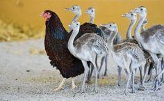 As galinhas são as melhores mães do reino animal