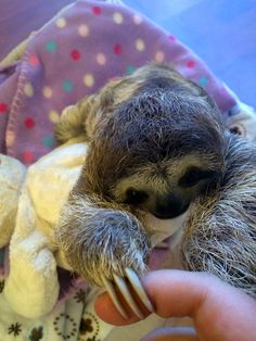 holding on to fingers (eeeeeeee!!!), | Meet Lunita, The Cutest Baby Sloth On Planet Earth