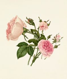 Rosa damascena 'Bella Donna', Rosa 'Mignon' -- Rose -- View By Flower -- RHS Prints