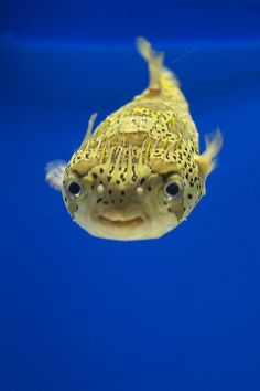 Porcupine fish - what a happy little fish!!