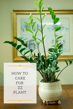 Learn all about ZZ plant care in this post! Everything from care conditions to trouble shooting problems and also how to propagate this tough low light plant. Zz Plant Care, House Plant Care, Easy Plants To Grow, Cool Plants, Big Plants, Indoor Garden, Indoor Plants, Cheese Plant, Low Light Plants