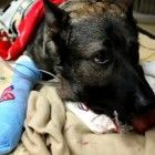 Nearly killed by the suspect he was apprehending, a heroic California K-9 is recovering after emergency surgery.