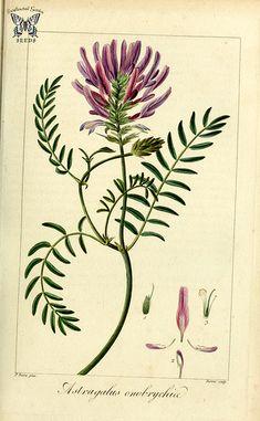 Milkvetch [Astragalus onobrychis] Herbier général de l'amateur, vol. 8 (1817-1827) [P. Bessa] | by Swallowtail Garden Seeds