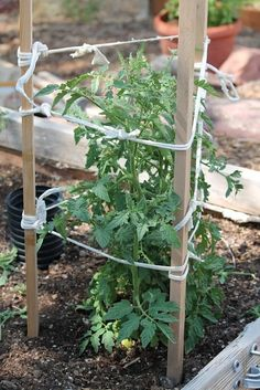 18 DIY tomato cages to encourage growth. 18 DIY tomato cages to encourage growth. Veg Garden, Tomato Garden, Garden Trellis, Edible Garden, Diy Trellis, Vegetable Gardening, Tomato Trellis, Tomato Plants, Pallet Gardening