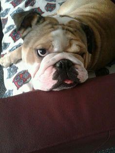 Move away from my sofa.. Archie #english bulldog