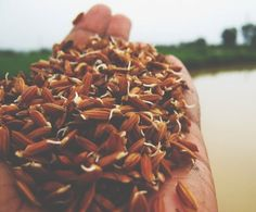 The happy grain: how germinated brown rice can improve mental and physical well-being