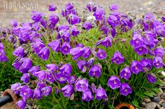 Campanula 'Jelly Bells' - Decidedly delicious with large, deep blue-violet, nodding bells perched atop a bright green mat of foliage. It can be used in a small container or in a rock garden. 'Jelly Bells' makes a vigorous and attractive low growing perennial, returning year after year. It prefers full sun and needs good drainage.