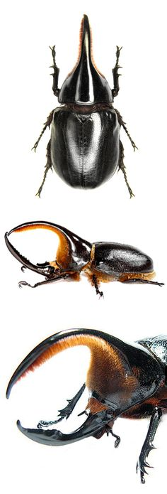 10 Different Types of Beetles Beetle Insect, Beetle Bug, Insect Art, Cool Insects, Bugs And Insects, Beautiful Bugs, Animals Beautiful, Insect Anatomy, Mantis Religiosa