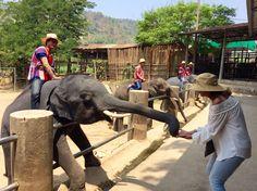 Elephant eating a whole coconut