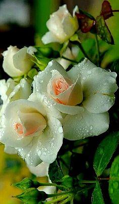 Tenha Jesus Cristo em seu coração e todas as cruzes do mundo parecerão rosas. São Padre Pio de Pietrelcina