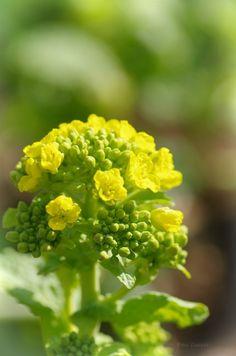 Canola flower Canola Flower, Nature Wallpaper, Yellow Flowers, Agriculture, Beautiful Flowers, Flora, Herbs, Plants, Honey