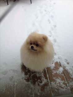 Pomeranian- Charlie