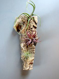 Display exotic Tillandsia air plants among the crevices of a piece of natural cork bark. The air plants include wild Baileyi, blushed-red