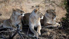 Un grupo de leones descansa en el Masai Mara (Kenia).  Más allá de la iguana y las serpientes: los mejores documentales de naturaleza del siglo La pantalla nos ha deleitado con extraordinarias historias naturales. Estas son las mejores