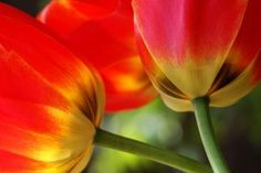 How to Plant Potted Tulips