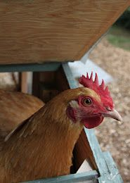 Mite prevention and treatment in backyard chickens