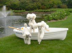 Pretty white poodles