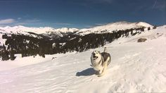 Beautiful GoPro Footage of a Gorgeous Wolfdog Gleefully Running Through the…