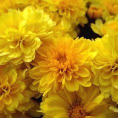 Yellow Mums by AlfalfaScout