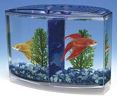 How to Care for Your Betta Fish: Betta fish are known for being tough, but that doesn't mean that you should neglect them. Caring for a betta if fairly easy, and if you do it properly, your betta will live a long life and it will be well worth it. Betta Fish Tank, Beta Fish, Fish Tanks, Siamese Fighting Fish, Cats Diy, Stop Animal Cruelty, Tanked Aquariums, Beautiful Fish, Beautiful Cats