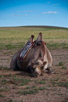That's one exhausted camel . Mongolia