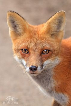 Red Fox by John Haig - so beautiful - someone gifted me with a fox coat - what to do Fantastic Fox, Fabulous Fox, Mundo Animal, My Animal, Most Beautiful Animals, Beautiful Creatures, Planeta Animal, Fuchs Baby, Baby Animals