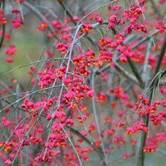 DECIDUOUS TREE = Arbres à feuilles caduques -  Euonymus europaeus - Fusain d'Europe