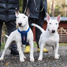 #whitebullterrier #whitebully #bully #bullterrier Mini Bullterrier, White Bull Terrier, Miniature Bull Terrier, English Bull Terriers, Cavalier, Bullying, Best Dogs, Dog Breeds, French Bulldog
