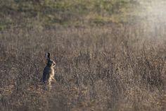 Hare | by Artur Rydzewski