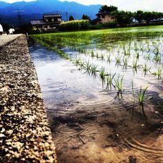 Raindrops in a rice field - Yamanashi, Japan.
