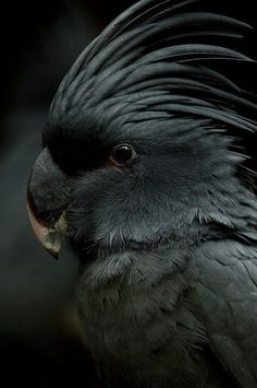 Black cockatoo. Omg! I've always wanted one and I never knew they came in black! Ahhhh! I WILL own one of threw one day!