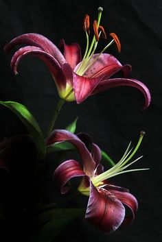 Day Lillies....Lillies are my absolute favorite!!!!