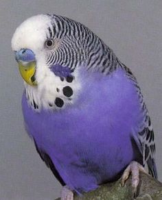 Lavender Budgerigar ~ Budgie for short ~ from Australia