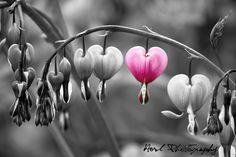 Tränendes Herz (Lamprocapnos spectabilis)