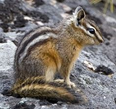 Freat shot of an adorable Chipmunk~ Gorgeous Cute Cats And Dogs, Cats And Kittens, Dogs And Puppies, Hamsters, Eastern Chipmunk, Cute Little Animals, Small Animals, Cutest Animals, Rare Animals