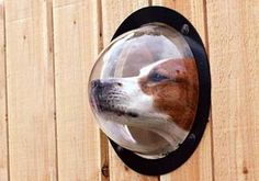 Now he can see into the neighbor's yard! What a tease!