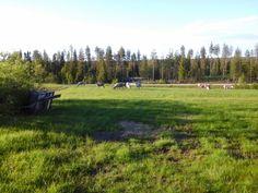 Reindeers in our back yard