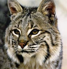 Bobcat (from NC WINS) | NCpedia