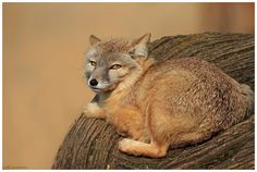 Corsac Fox by Tobi K