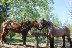 Minttu and Limppu. #Finnhorse and #swedish ardenner (half #brabant)