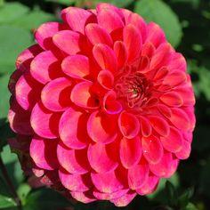Dahlia 'Zundert Mystery Fox' - Rose Cottage Plants
