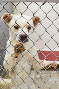 Gorgeous two-year-old white shepherd on official euth list at Roswell shelter