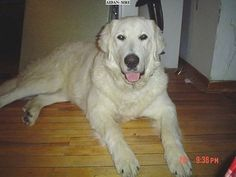 A tan Kuvasz is laying on a hardwood floor. Its mouth is open and tongue is out. The words - AIDAN-SURE - is overlayed in a white block