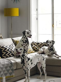 Thinking about getting a Dalmatian puppy? Here are some things you should know about Dalmatian puppies before you run out to your local shelter or rescue to get your own, from their energy levels to their unique spotted coats. Animals And Pets, Baby Animals, Cute Animals, Cute Dogs Breeds, Dog Breeds, Cute Puppies, Dogs And Puppies, Doggies, Sweet Dogs