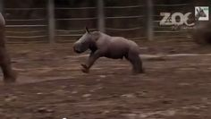 Running comes naturally for this newborn rhino. Already five days old, he is taking his legs for a spin and getting into some serious mischief.