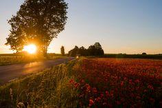 Poppy field at sunse