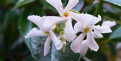 flores de trachelospermum jasminoides