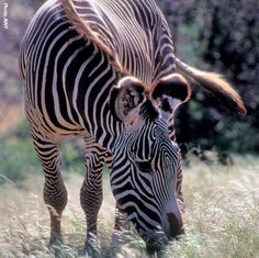 Fascinating Facts, African Animals, Zebras, Fun Facts, Creatures, Amazing, Projects, Log Projects