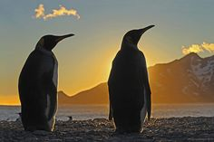 King penguins silhouetted at dawn, South Georgia. The King Penguin is the second largest species of penguin, weighing up to 16 kgs. They eat small fish - mainly lanternfish and squid, and repeatedly dive to more than 100 metres to find lunch. There are an estimated 2.23 million pairs of King Penguins with numbers increasing